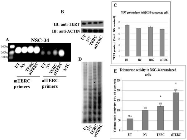Stable overexpression of mTERC and alTERC increased telomerase activity in NSC-34 cells.