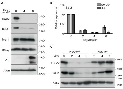 Downregulated HoxA9 expression results in loss of Bcl-2 expression.