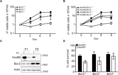 Bcl-2 is required for HoxA9-dependent immortalization of myeloid cells.