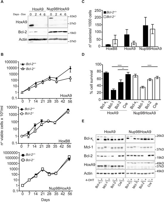 HoxA9-dependent hematopoietic cells but not Nup98-HoxA9 or HoxB8, requires Bcl-2 expression for immortalization and survival.