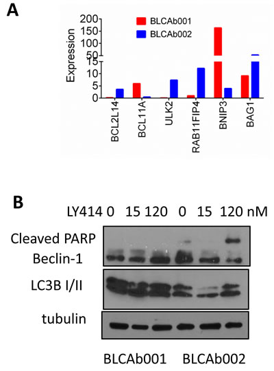 Differential expression and modulation of autophagy in BLCAb001 and BLCAb002.