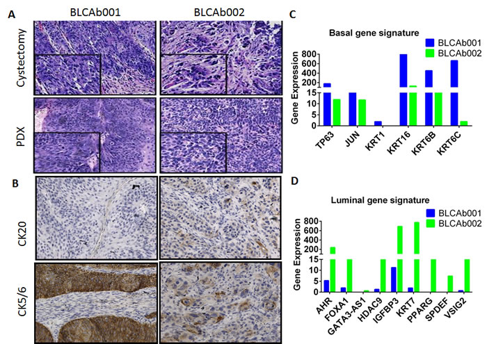 Histological and molecular representation of BLCAb001 and BLCAb002.