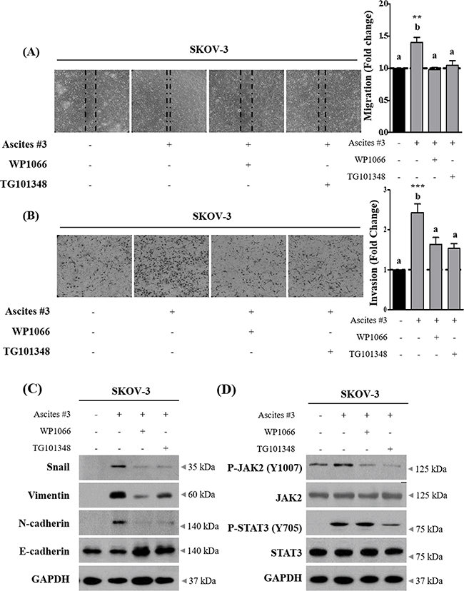 Inhibition of JAK2-STAT3 signaling suppress ascites-induced migration and invasion in SKOV-3 cells.