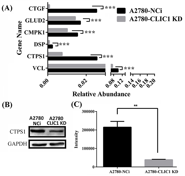shRNA knockdown of CLIC1 leads to the down regulation of CTPS1, the decrease of CTP concentration and the arrest of G1 phase.