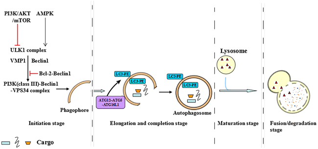 The multistep processes of autophagy.