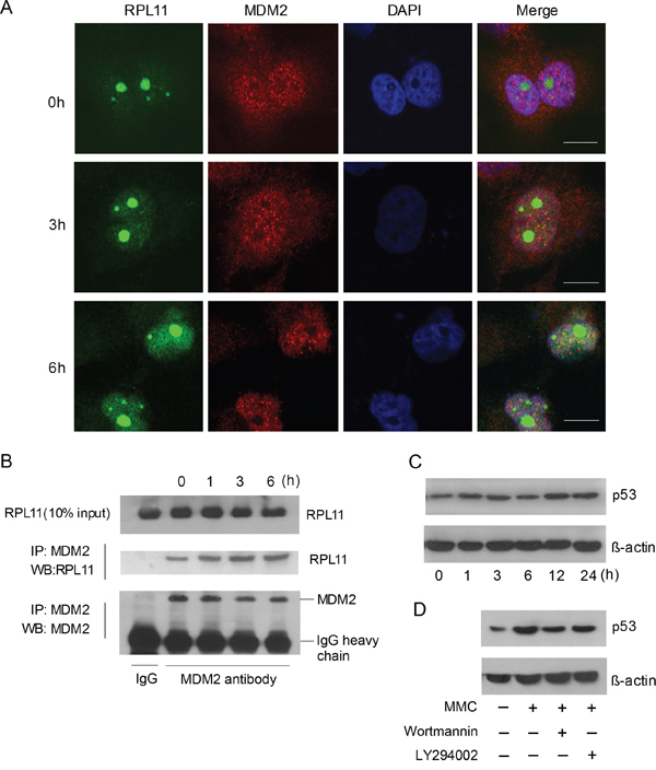DNA damage induces p53 accumulation via the RPL11-MDM2 pathway.
