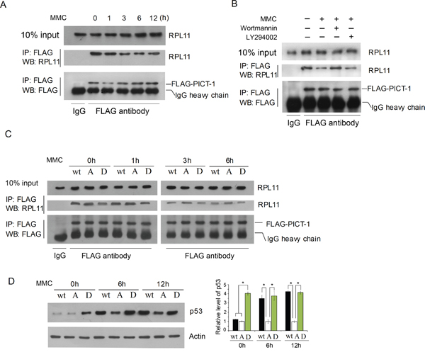 Phosphorylation of PICT-1 decreases its binding to RPL11.