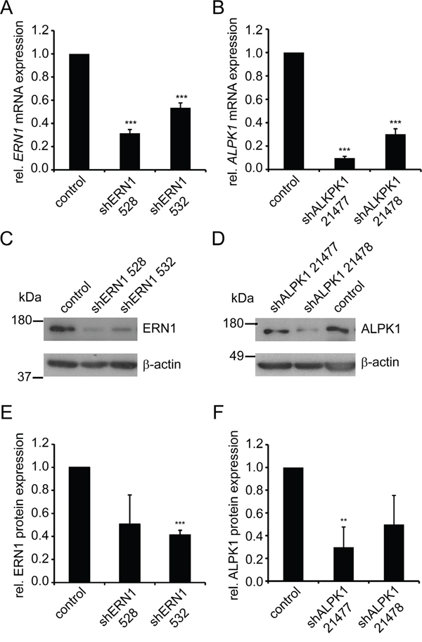 shRNA-mediated knockdown of ERN1 and ALPK1 reduces mRNA and protein expression.