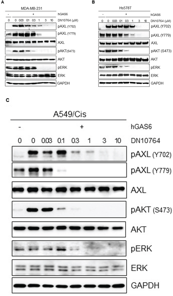 Inhibition of GAS6-mediated AXL signaling pathways.