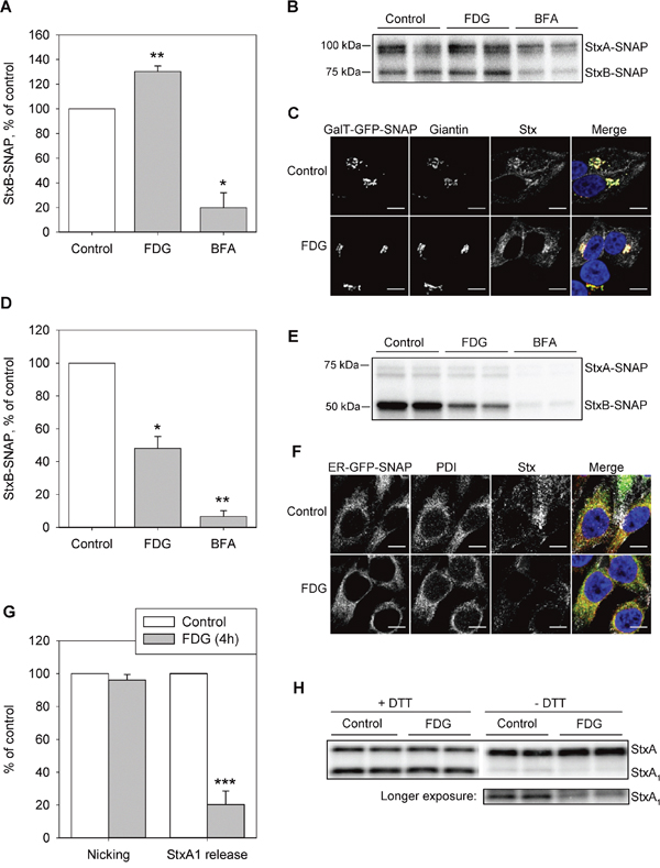 FDG inhibits Stx transport to the ER and the release of StxA1.