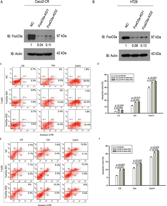 Knockdown of FoxO3a sensitized CRC-CR cells to cetuximab treatment.