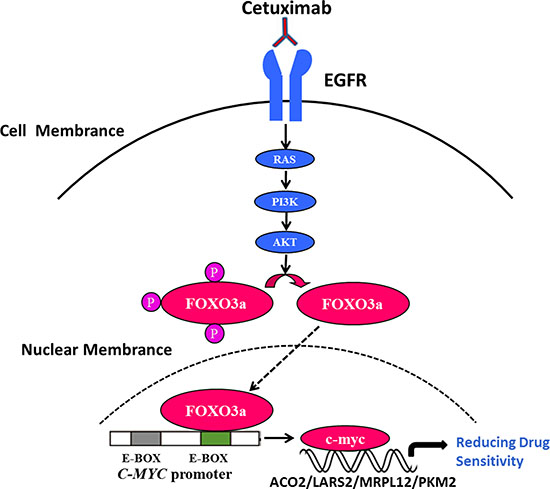 FoxO3a regulated c-Myc was important in cetuximab resistant cell proliferation, migration and survival in CRC.