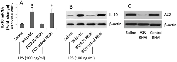 A20 is associated with IL-10 expression in B cells.