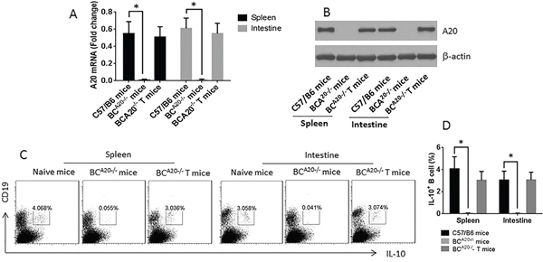 Assessment of IL-10 expression in B cells in the spleen and intestine of wild type mice and BCA20-/- mice.