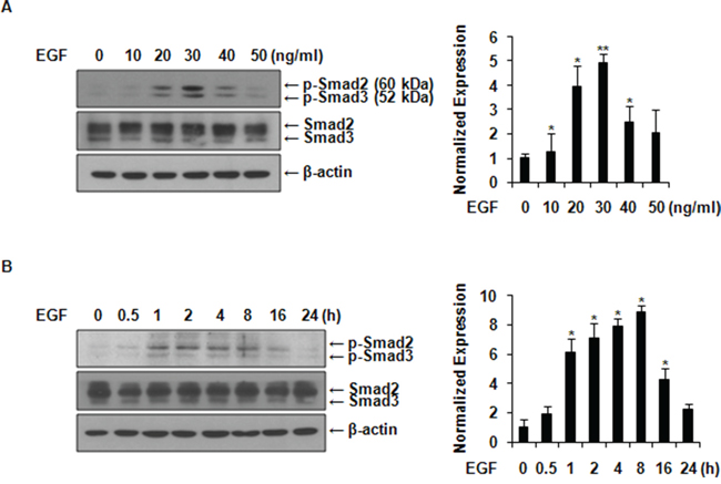 EGF activates Smad2/3 in MCF-7 cells.