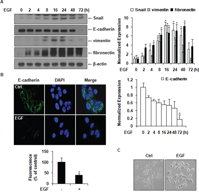 EGF induces the expression of Snail and EMT markers in MCF-7 cells.