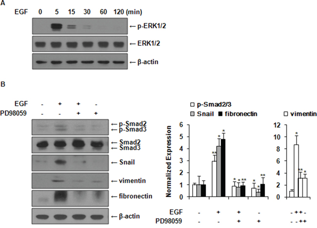 EGF induces activation of Smad2/3 and expression of EMT markers via ERK1/2 signaling pathway.
