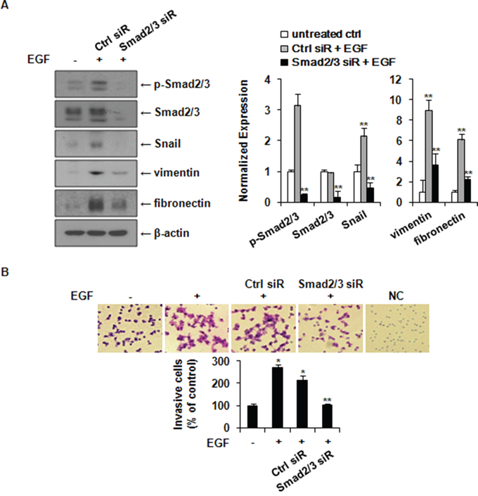 Knockdown of Smad2/3 expression suppresses EGF-induced expression of Snail, fibronectin, and vimentin and the invasion of MCF-7 cells.