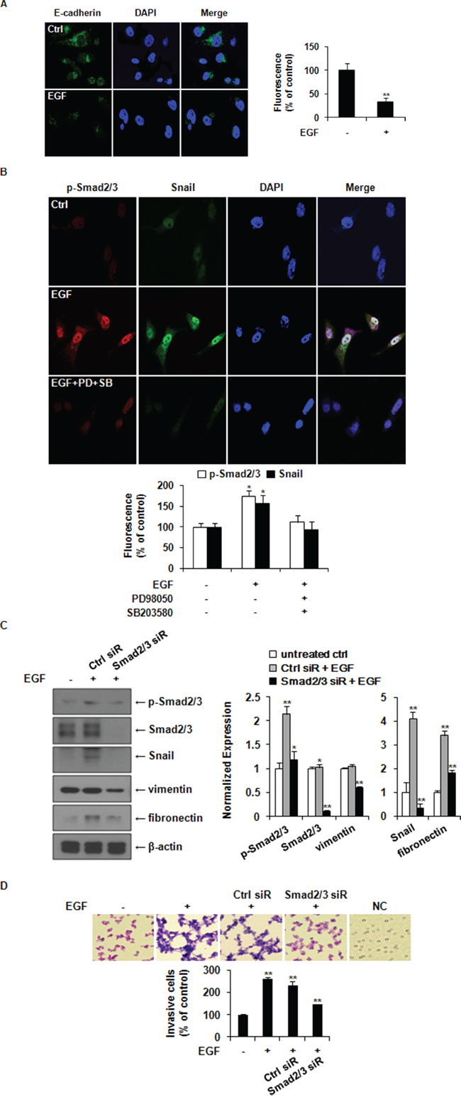 EGF induces EMT through ERK1/2-phospho-Smad2/3-Snail signaling pathway in MDA-MB-231 breast cancer cells.