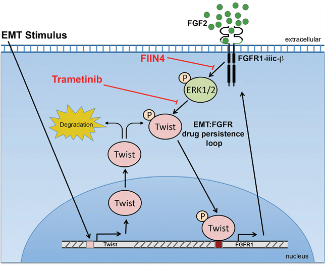 A Schematic representation of how FGFR signaling is bolstered following induction of EMT.