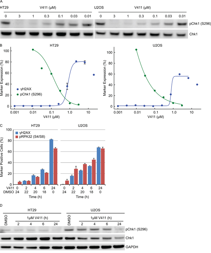 Complete and sustained inhibition of Chk1 is necessary to induce a robust cellular response.