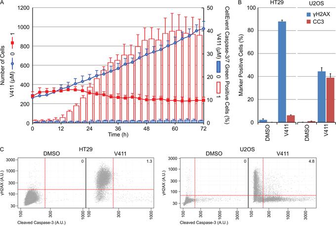 γH2AX induction and caspase-3 cleavage are mutually exclusive cellular outcomes following Chk1 inhibition.