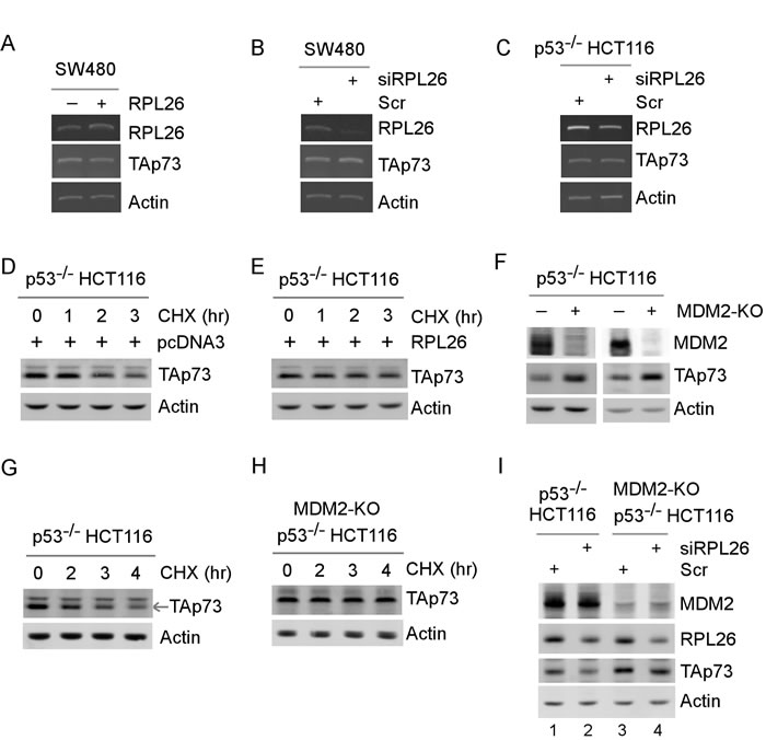 RPL26 modulates TAp73 protein stability in part