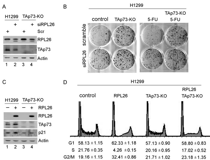 RPL26 regulates cell proliferation in a TAp73-dependent manner.
