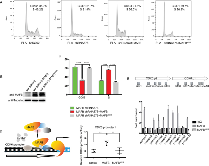 MAFB SUMOylation promotes CRC cell proliferation.