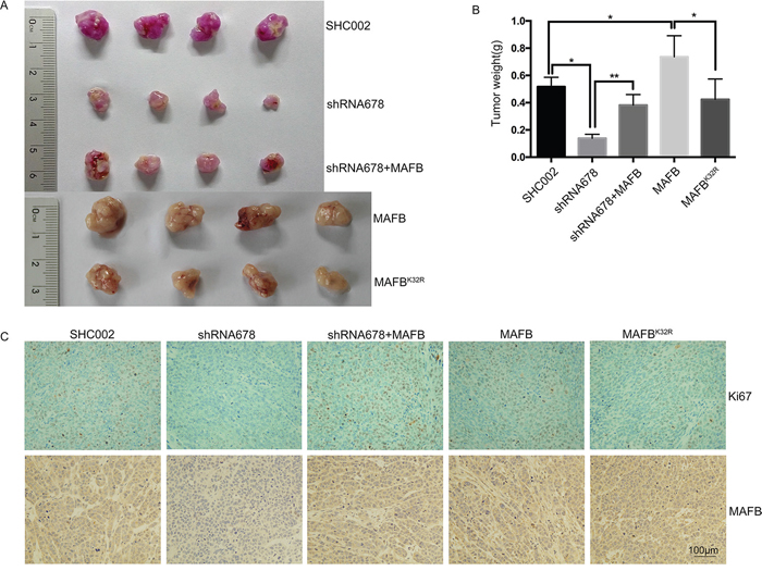Sumoylated MAFB promotes tumor formation in nude mice.
