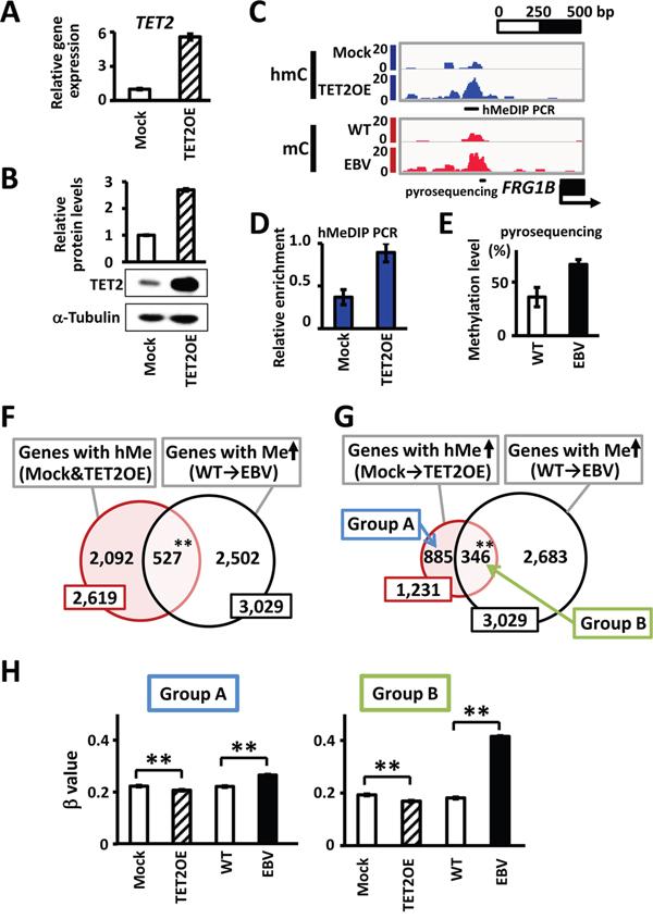 Hydroxymethylation target genes by TET2.