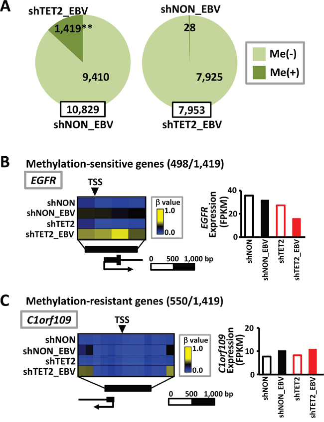 Increase in methylation target genes by EBV infection in TET2-depleted cells.