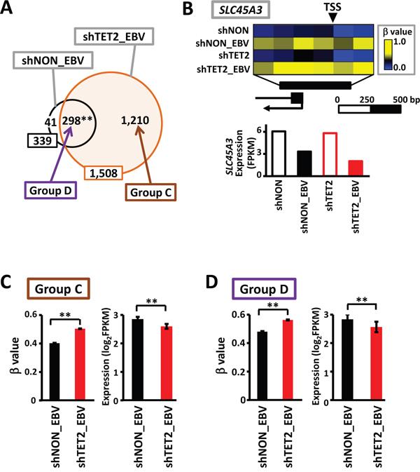 Increase in methylation levels, even in methylation-sensitive genes, by TET2 knockdown.