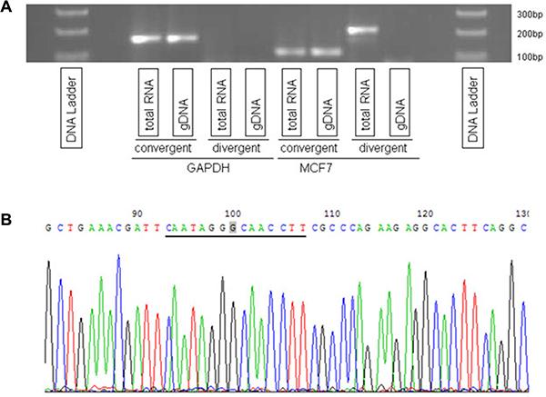 Validation of a circRNA at locus chr14:102,466,325–102,500,789.
