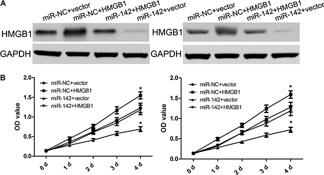 HMGB1 over-expression attenuates the suppressive effect of miR-142 on cell proliferation.