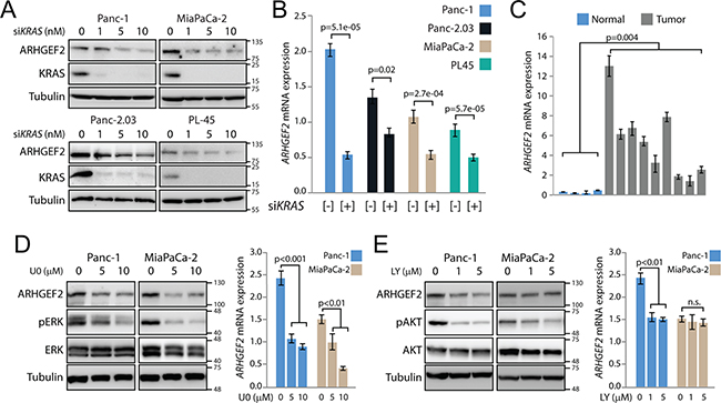ARHGEF2 is a transcriptional target of oncogenic KRAS.