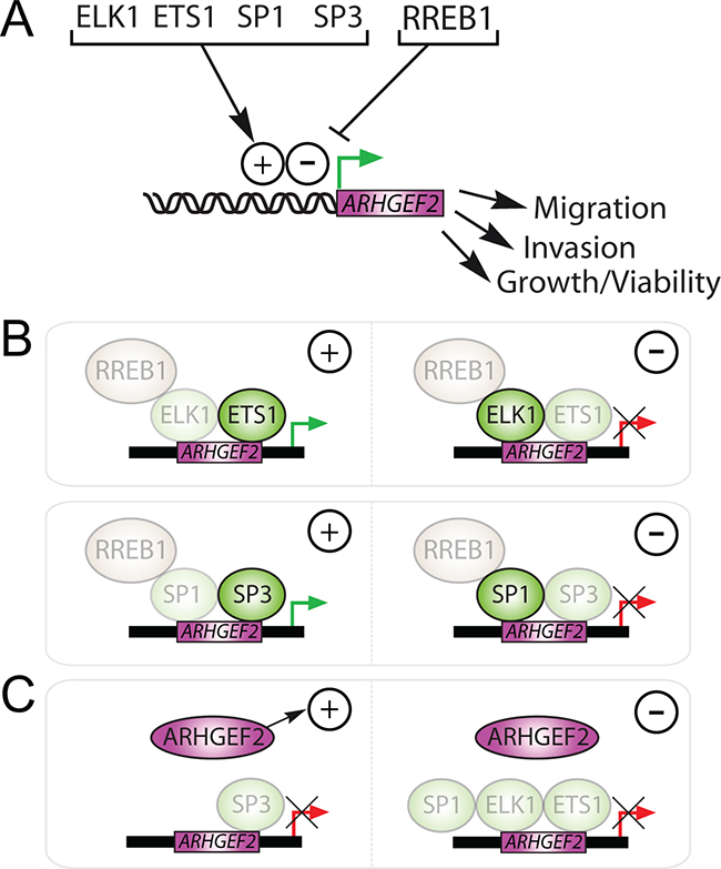 Summary of ARHGEF2 transactivation and regulation of RAS mediated phenotypes via ARHGEF2-regulating TFs.
