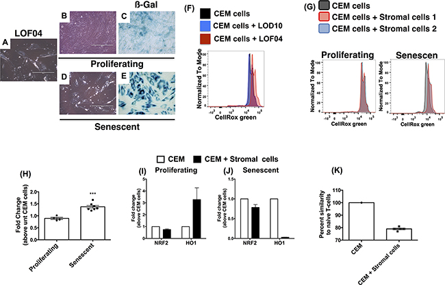 Figure 6. Senescence-induced oxidative stress and impaired antioxidant response account for microsatellite aberrations in CEM-cells co-cultured with lung stromal cells.