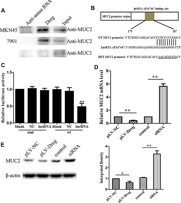 Identification and validation of lncRNA-AF147447 targets.