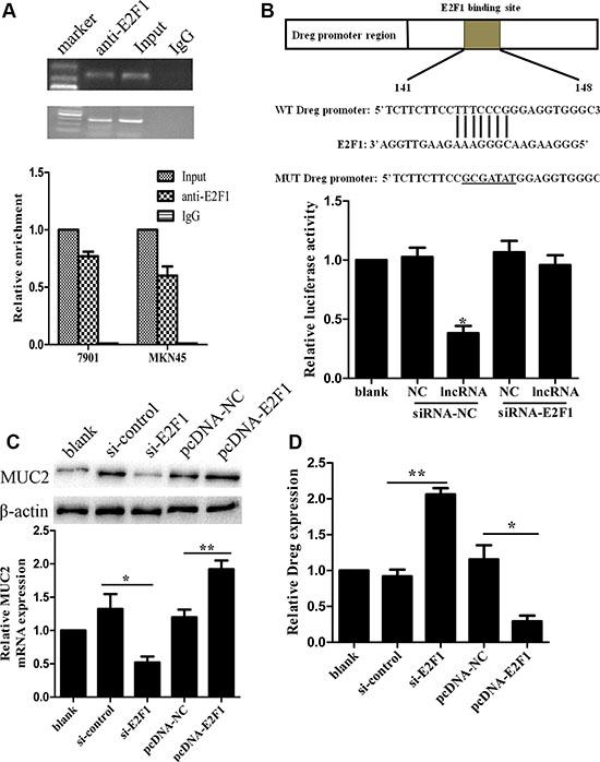 LncRNA AF147447 physically associates with E2F1.