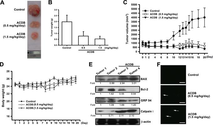 ACDB inhibits tumor growth in nude mice.