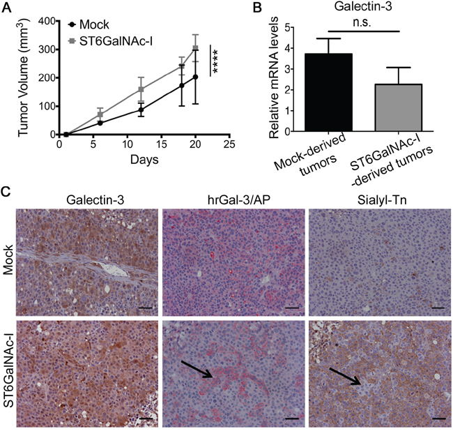 Sialyl-Tn increases tumor growth and decreases galectin-3-binding sites in vivo.