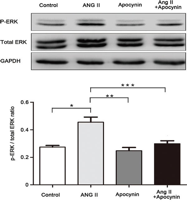 Apocynin inhibited Ang II-induced phosphorylation of ERK1/2 in VSMC. Data are expressed as mean±SD.