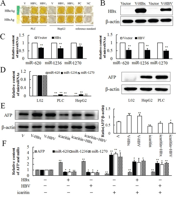 Expressions of miR-620, miR-1236, miR-1270 in HBV- and HBx-transfected cells.