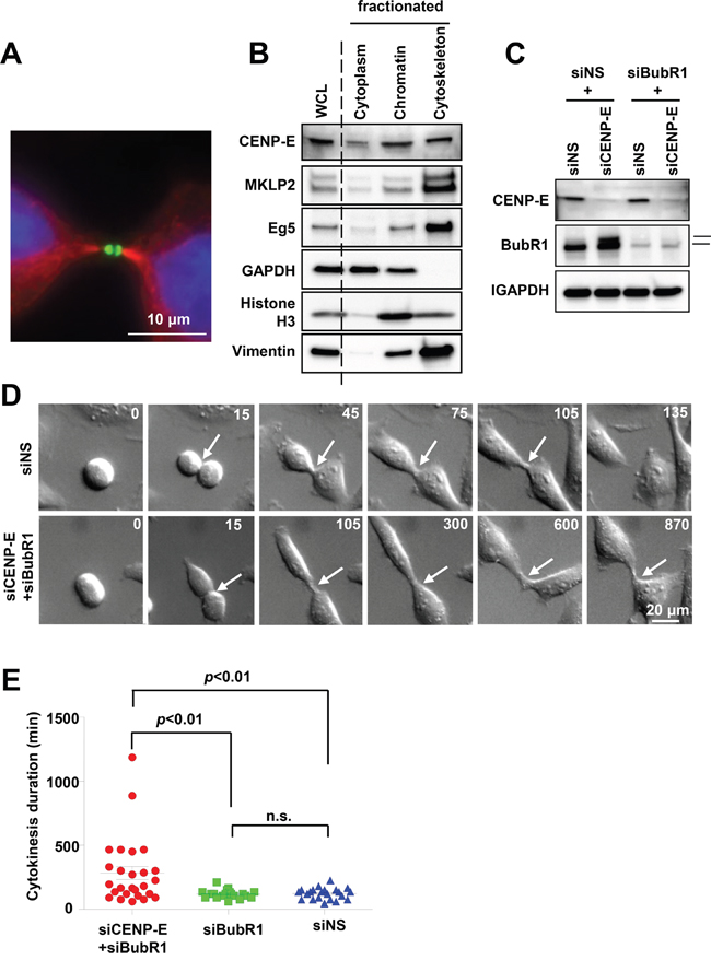 Effects of CENP-E on cytokinetic abscission in HeLa cells.