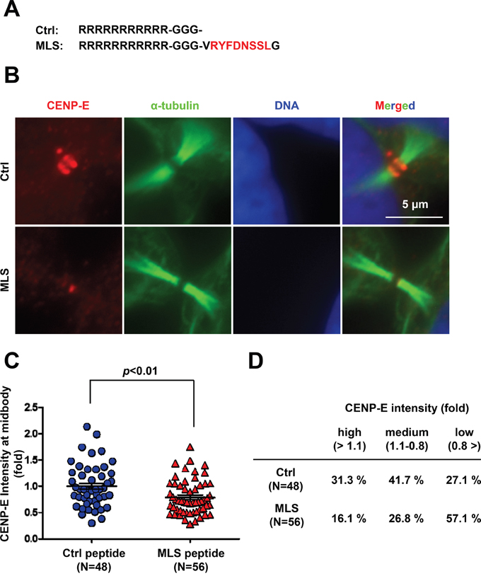 Treatment with the C-terminal midbody localization sequence (MLS) peptide reduces endogenous CENP-E localization at the midbody.
