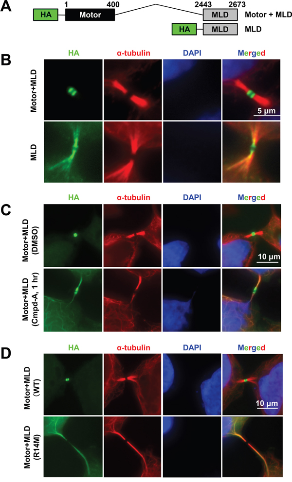 CENP-E motor activity is required for intense midbody accumulation.