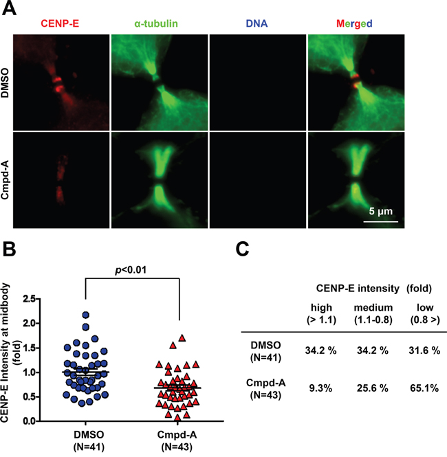 Treatment with the CENP-E inhibitor reduces endogenous CENP-E localization at the midbody.