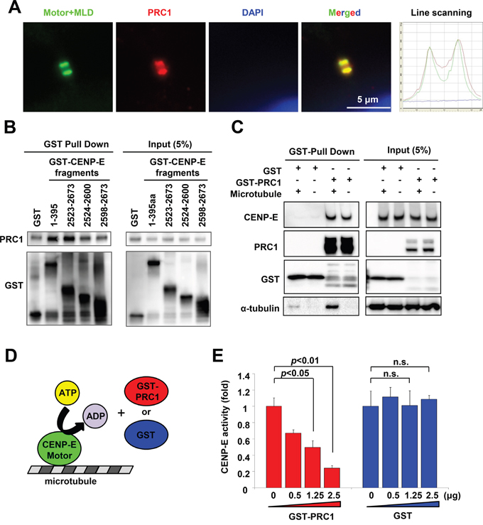 PRC1 interacts with CENP-E and modulates CENP-E ATPase activity in vitro.