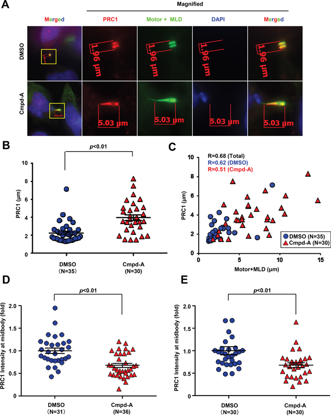 CENP-E modulates PRC1 localization to the midbody by its motor activity.
